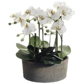 "19"" Phalaenopsis Orchid Plant in Clay Pot"