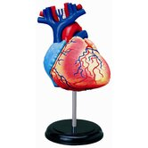 4D-Vision Human Heart Anatomy Model
