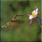 Tuftop Hummingbird and Columbine Trivet