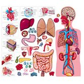 The Human Body & Anatomy