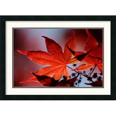 Amanti Art Red Maple Framed Print by Andy Magee