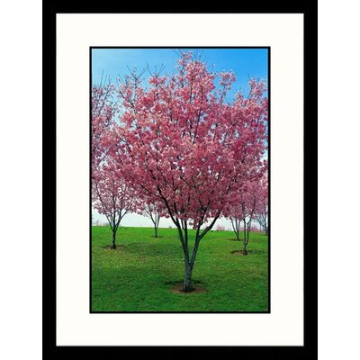 Cherry Blossoms, Lake Balboa Framed Photograph - Claire Rydell
