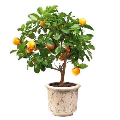 Tangerines Tree Window Sticker