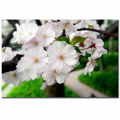 "Trademark Fine Art Cherry Blossom Path by Kurt Shaffer, Canvas Art - 16"" x 24"""