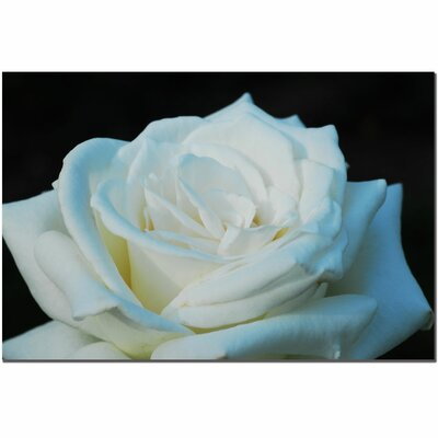 "Trademark Fine Art White Rose Beauty 2 by Kurt Shaffer, Canvas Art - 16"" x 24"""
