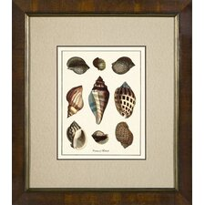 Varieties of Mollusk Framed Print