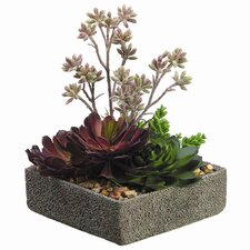 Aeonium, Sedum, Echeveria in Cement Pot