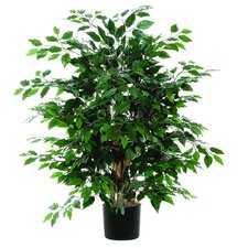 Extra Full Bush Ficus Tree