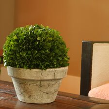 Preserved Boxwoods Large Preserved Greens Ball Pot
